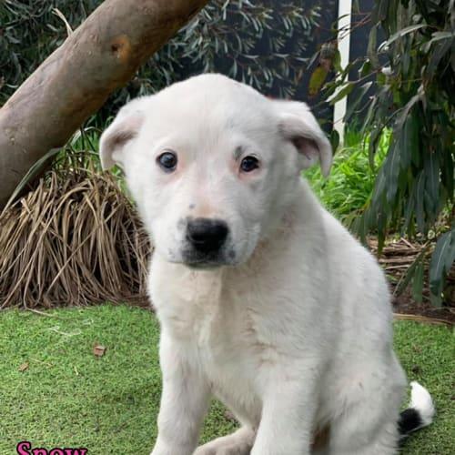 Snow - Koolie Dog