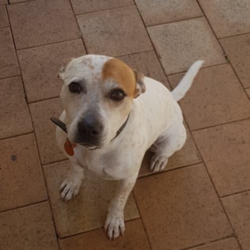 Zoie - Staffy x Red Heeler Dog