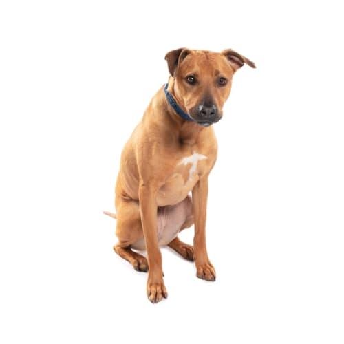Honey  - American Staffordshire Terrier Dog