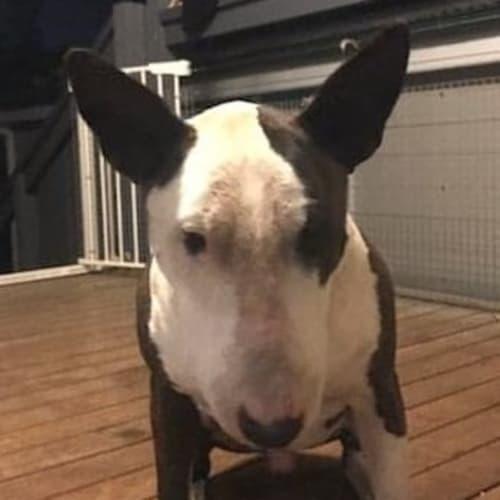 Ceasar  - Bull Terrier Dog