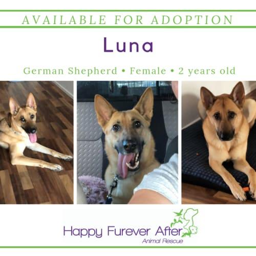Luna - German Shepherd Dog