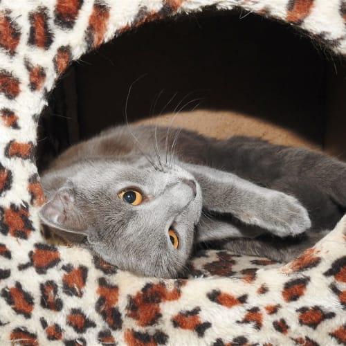 Taeo - Domestic Short Hair Cat