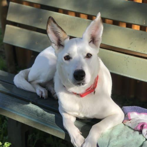 Sophie - Kelpie Dog
