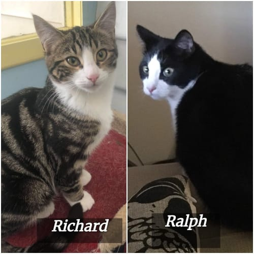 Richard & Ralph: Bonded Siblings - Domestic Short Hair Cat