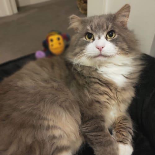 Duke - Domestic Long Hair Cat