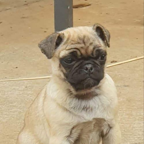 Billy - Pug Dog
