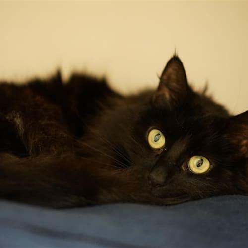 Nina - Domestic Long Hair Cat
