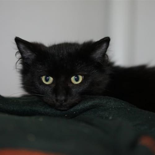 Detroit - Domestic Medium Hair Cat