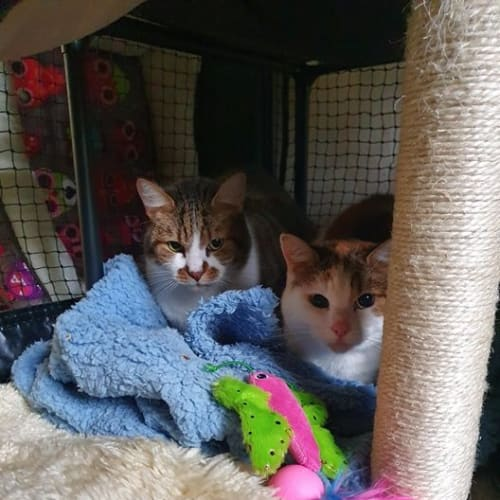 503/504 - Robbie & Lilly - Domestic Short Hair Cat