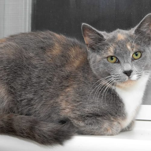 1278 - Lavender - Domestic Short Hair Cat