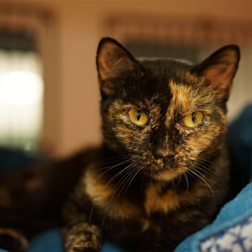Olive - Domestic Short Hair Cat