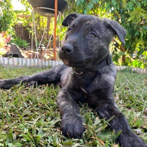 Bran - Mastiff Dog