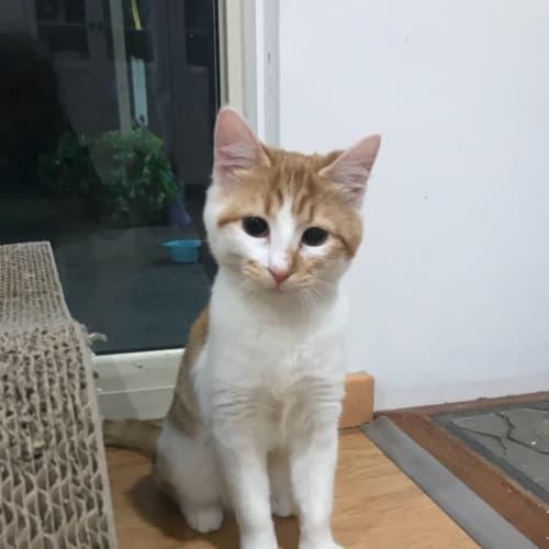 Merida  - Domestic Short Hair Cat