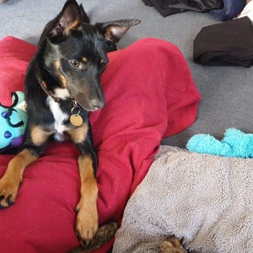 Tilly Rae - Kelpie Dog