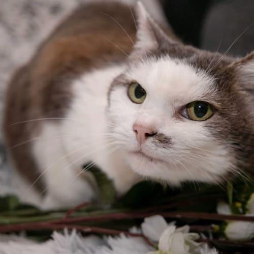 1236 - Snowy - Domestic Short Hair Cat