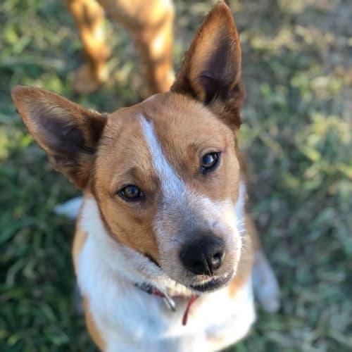 Izzy - Australian Cattle Dog