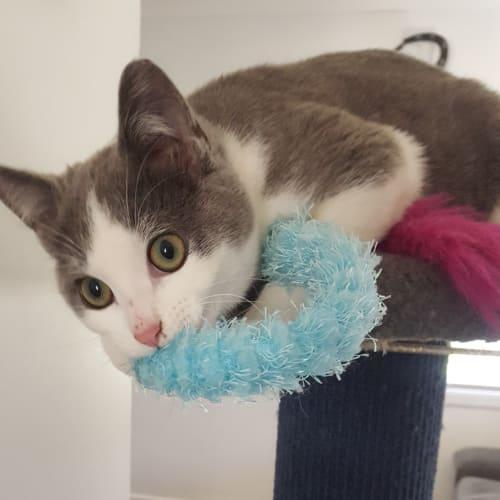 Willow 🌷 - Domestic Short Hair Cat