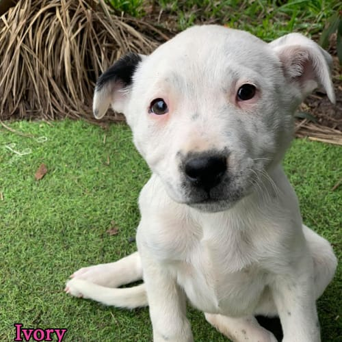 Ivory - Catahoula Dog