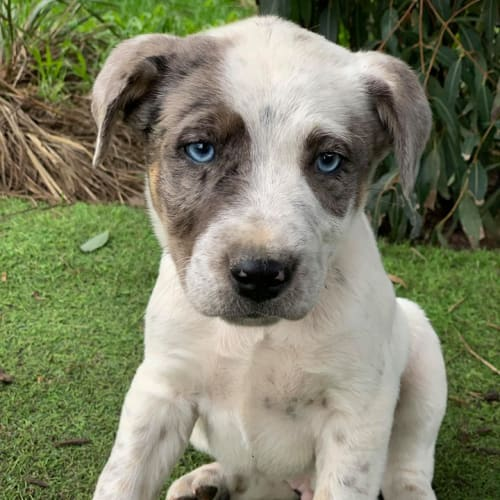 Winter - Catahoula Dog