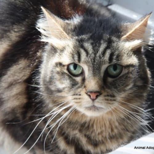 Rox - Domestic Short Hair Cat