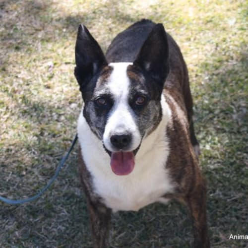 Jenny - American Staffordshire Bull Terrier Dog
