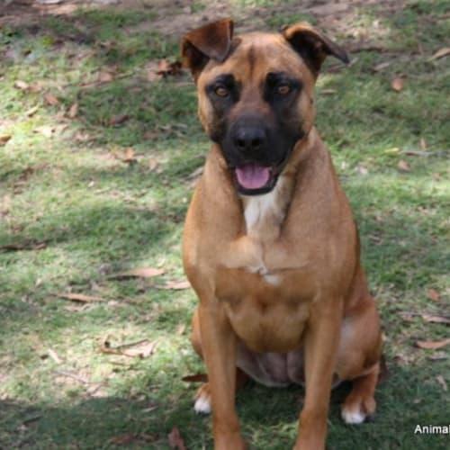 Lincoln - Staffy Dog