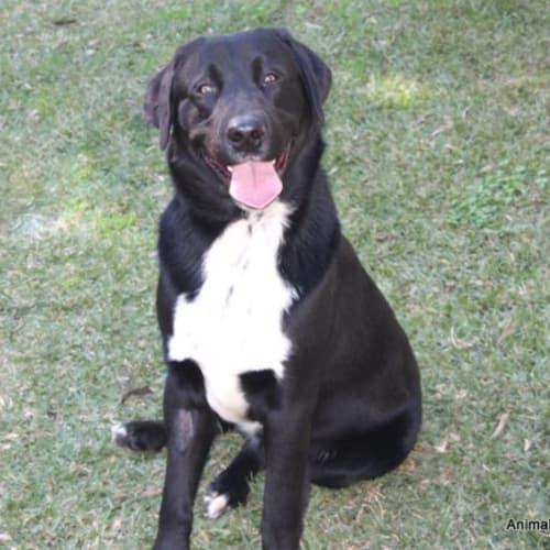 Mabu - Labrador Dog