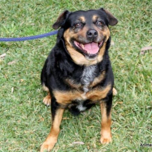 Lucy - Kelpie x Rottweiler Dog