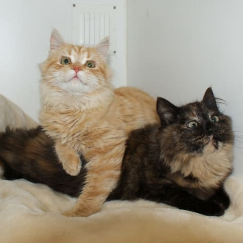 Nutmeg & Cinnamon - Domestic Medium Hair Cat
