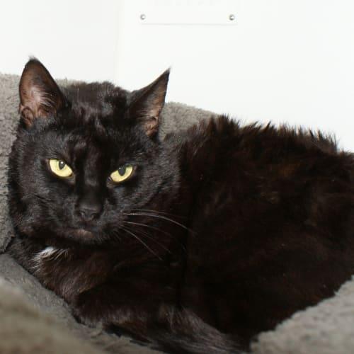 Ruben SUA004213 - Domestic Short Hair Cat