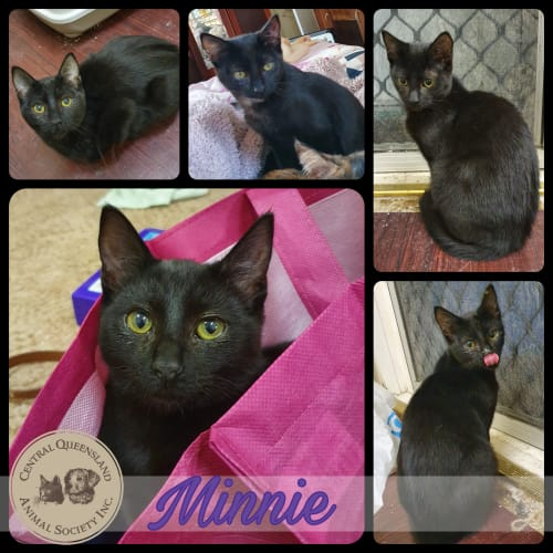 Minnie - Domestic Short Hair Cat