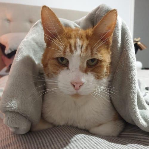 Carona rsua003784 - Domestic Short Hair Cat