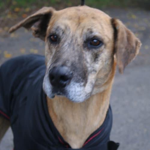 Neil - Great Dane x Irish Wolfhound Dog
