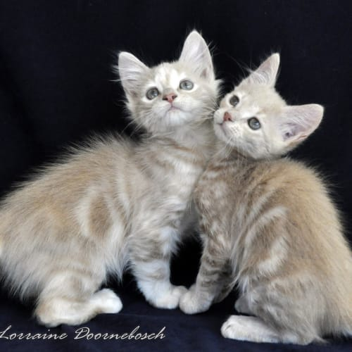 Snugglepot and Cuddlepie - Domestic Medium Hair Cat