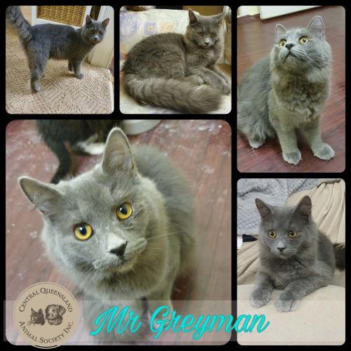Mr Greyman - Maine Coon x Domestic Medium Hair Cat