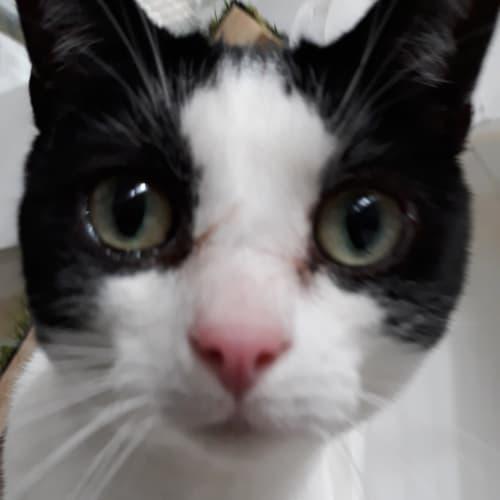 Ryder - Domestic Short Hair Cat