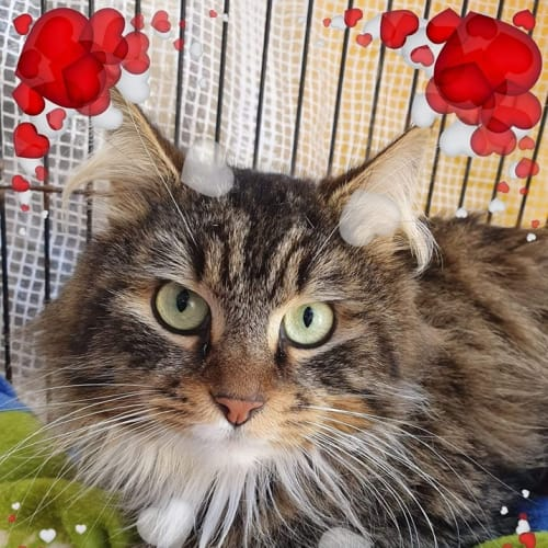 Mr Whiskas - Domestic Long Hair Cat