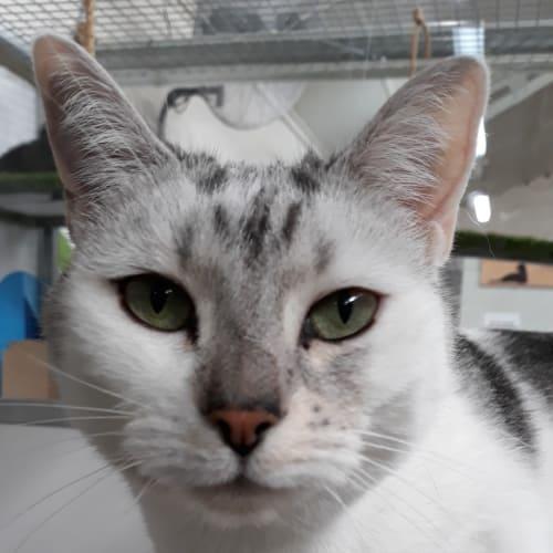 Columbia - Domestic Short Hair Cat