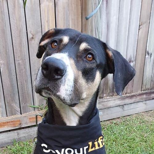 Buddy - Mastiff x Rottweiler Dog