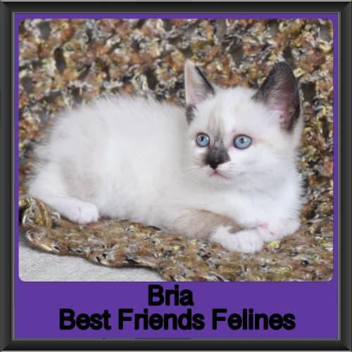 Bria  - Ragdoll x Manx Cat