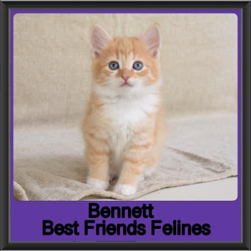 Bennett  - Ragdoll x Manx Cat