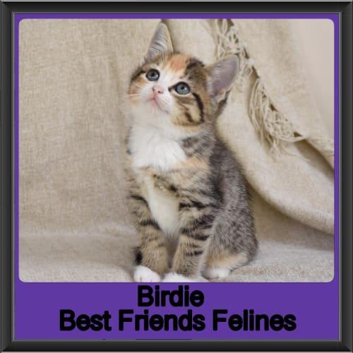 Birdie  - Ragdoll Cat