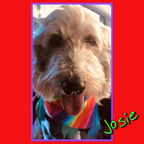 Josie - Labradoodle Dog