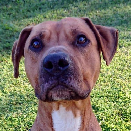 Inglis - American Staffordshire Bull Terrier Dog