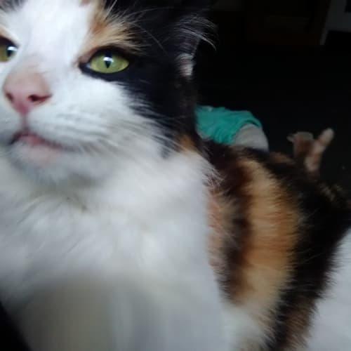 Dory - Domestic Long Hair Cat