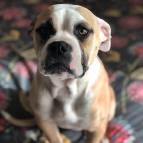 Chunk - American Bulldog x Mixed Dog