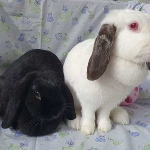 Flop and fluff - Dwarf lop Rabbit