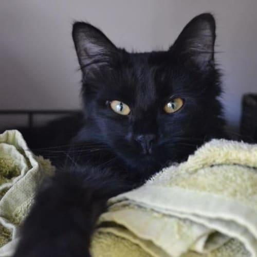 Cinder - Domestic Medium Hair Cat
