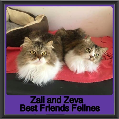 Zali and Zeva  - Himalayan Cat