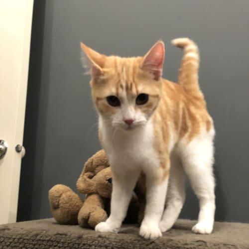 Jasper - Domestic Short Hair Cat
